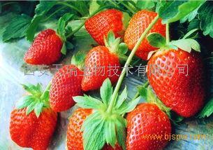 草莓浓缩粉