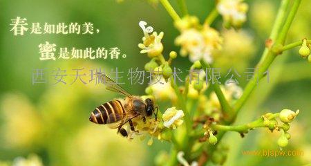 蜜蜂花原粉